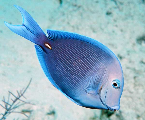 Underwater photos scuba diving blue tang fish for Blue tang fish price